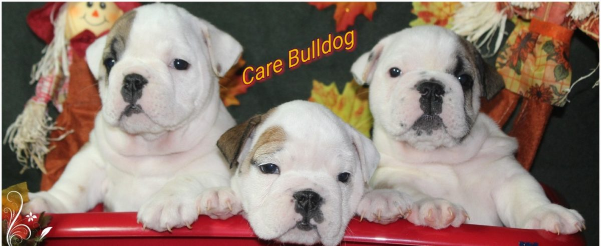 English Bulldogs with Love & Care